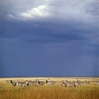 Picture of herd of zebras