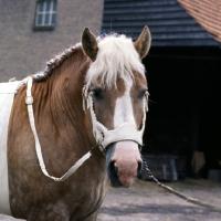 Picture of Herman van Halfweg,  Dutch Draught Horse, head shot