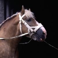 Picture of Herman van Halfweg, Dutch Draught Horse stallion head shot