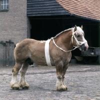 Picture of Herman van Halfweg, Dutch Draught Horse stallion full body