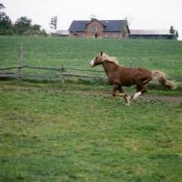 Picture of Hjelm, Frederiksborg stallion galloping