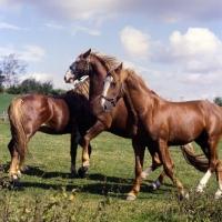 Picture of Hjelm, Martini, Tito Naesdal  three Frederiksborg stallions enjoying arguement