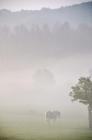 Picture of Horse walking in misty field