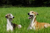Picture of hortaya borzaya south russian sighthound