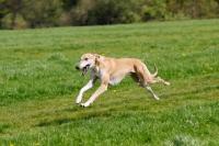 Picture of hortaya borzaya, south russian sighthound, running