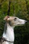 Picture of hortaya borzaya, south russian sighthound, portrait