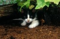 Picture of Household Kitten hiding under leaves