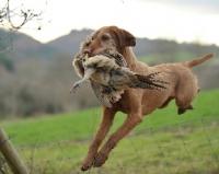 Picture of Hungarian Vizsla retrieving bird