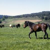 Picture of Huzel pony stallion walking in field in Poland