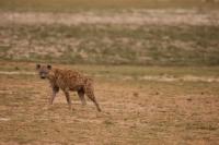 Picture of Hyena standing in vast open land, Kenya