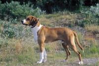 Picture of Hygenhund, Norwegian hound breed in Norwegian Mountains