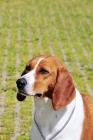 Picture of hygenhund portrait
