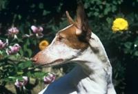 Picture of ibizan hound, portrait
