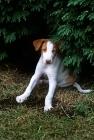 Picture of ibizan hound puppy sitting up