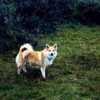 Picture of iceland dog at gardabaer