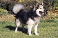 Picture of Iceland Dog, Ch. Afram vom Hartenberg