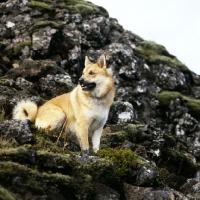 Picture of iceland dog on lava at gardabaer, iceland