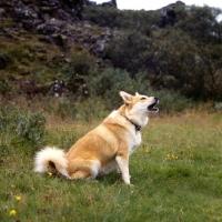 Picture of iceland dog sitting barking on a hillside at gardabaer, iceland