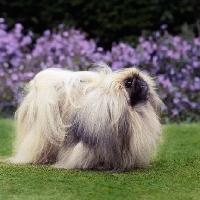Picture of int ch copplestone pu-zee,  posing pekingese