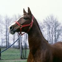 Picture of intrepido de granados, peruvian paso stallion