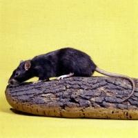 Picture of irish black pet rat on log
