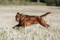 Picture of Irish red setter, running