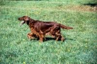 Picture of irish setter from cornevon kennels trotting across field