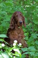 Picture of Irish Setter in greenery