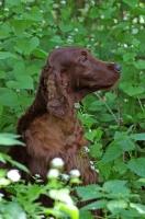 Picture of Irish Setter in profile