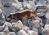 Picture of Irish setter rescue dog