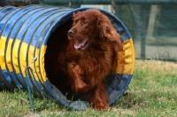 Picture of Irish Setter running though tube