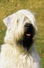 Picture of Irish Soft Coated Wheaten Terrier