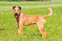 Picture of Irish Terrier in field
