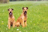 Picture of Irish Terrier pair
