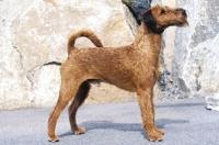 Picture of Irish Terrier posed