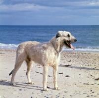 Picture of irish wolfhound on beach in ireland