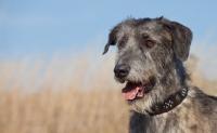 Picture of Irish Wolfhound portrait