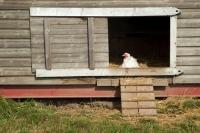 Picture of Ixworth hen in chicken coop