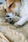 Picture of jack russell terrier sleeping in basket
