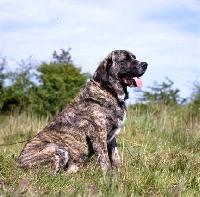 Picture of jaro de monte jaena  spanish mastiff sitting in grass