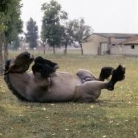 Picture of Jupiter de St Trond, belgian heavy horse rolling