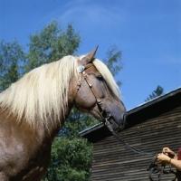 Picture of Kajova 6993, Finnish Horse at Ypäjä, head study