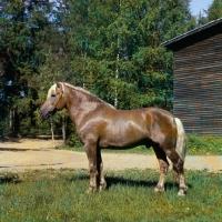 Picture of Kajova 6993, Finnish Horse stallion in Finland