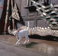 Picture of Kao Manee kitten walking