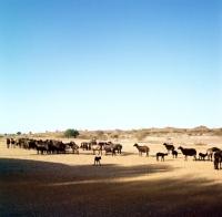 Picture of karakul sheep on keetman farm, namibia