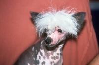 Picture of keshar's blueboy du fuinrando,   chinese crested dog, portrait