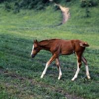 Picture of kisber foal walking purposefully