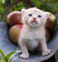Picture of kitten near apples