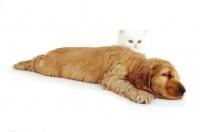 Picture of kitten watching cocker spaniel pup sleep