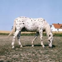 Picture of knabstrup colt in denmark